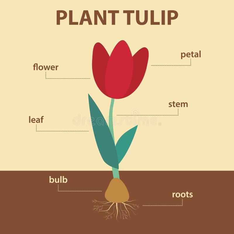Diagramma vettoriale che mostra le parti del tulipano di piante intere - schema infographic agricolo illustrazione vettoriale