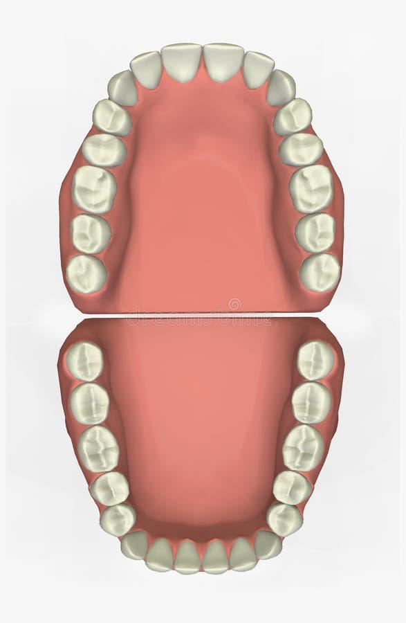 diagramme 3D dentaire illustration libre de droits