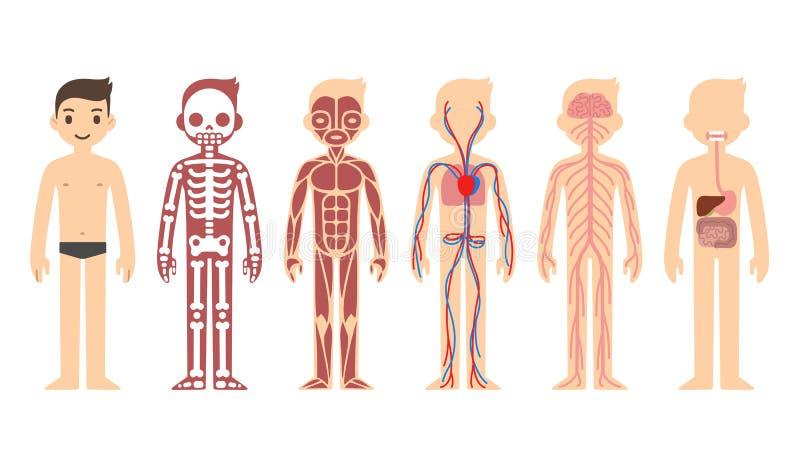 Diagramme d'anatomie illustration libre de droits