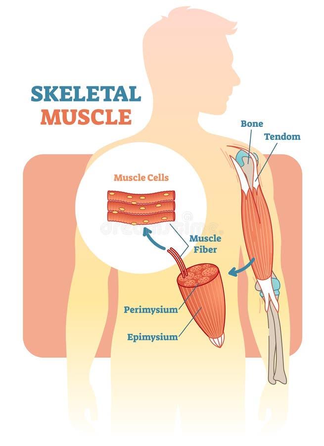 Diagramme d'illustration de vecteur de muscle squelettique, plan anatomique avec la main humaine illustration libre de droits