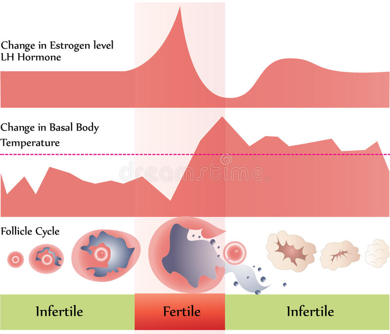 Diagramme d'ovulation illustration libre de droits