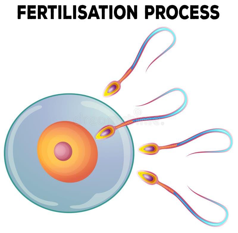 Diagramme de procédé de fertilisation illustration libre de droits