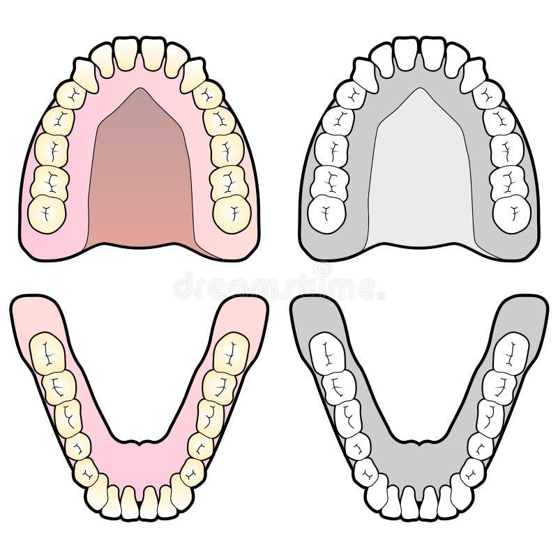 Diagramme humain de dent illustration de vecteur