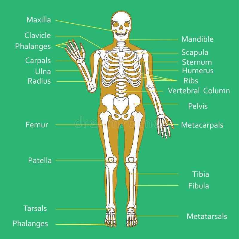 Diagramme médical d'éducation de biologie pour le diagramme squelettique humain Illustration de vecteur illustration stock