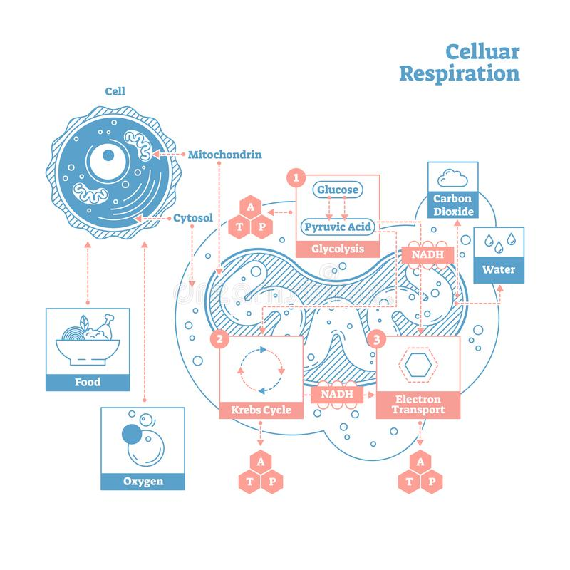 Diagramme médical d'illustration de vecteur de respiration cellulaire, plan de processus de respiration illustration libre de droits