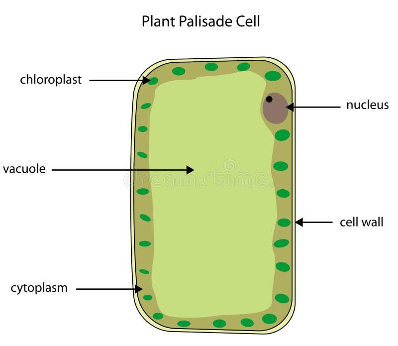 Download Diagramme Marqué De Cellule De Palissade D'usine Illustration de Vecteur - Illustration du palissade, école: 45352760