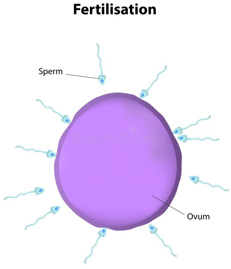 Diagramme marqué par fertilisation illustration stock