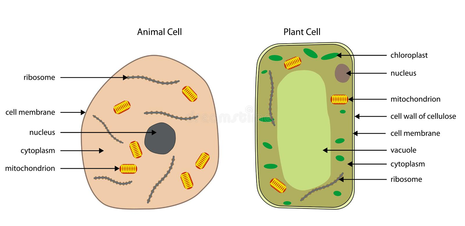 Diagrams of animal and plant cells stock vector illustration of download diagrams of animal and plant cells stock vector illustration of biology plant ccuart Images