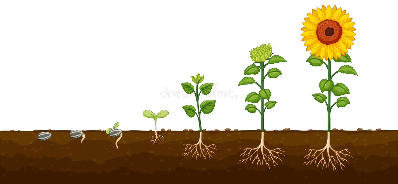 Diagramv do progresso do crescimento vegetal ilustração royalty free