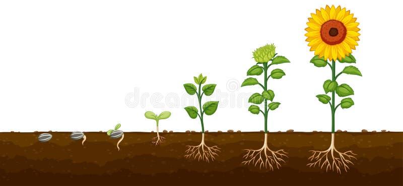 Diagramv för framsteg för växttillväxt royaltyfri illustrationer