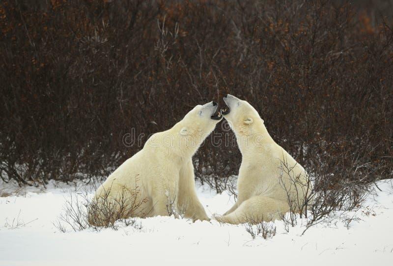 Dialogue of polar bears royalty free stock photo