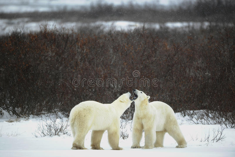 Download Dialogue of polar bears stock image. Image of bear, destruction - 18262647