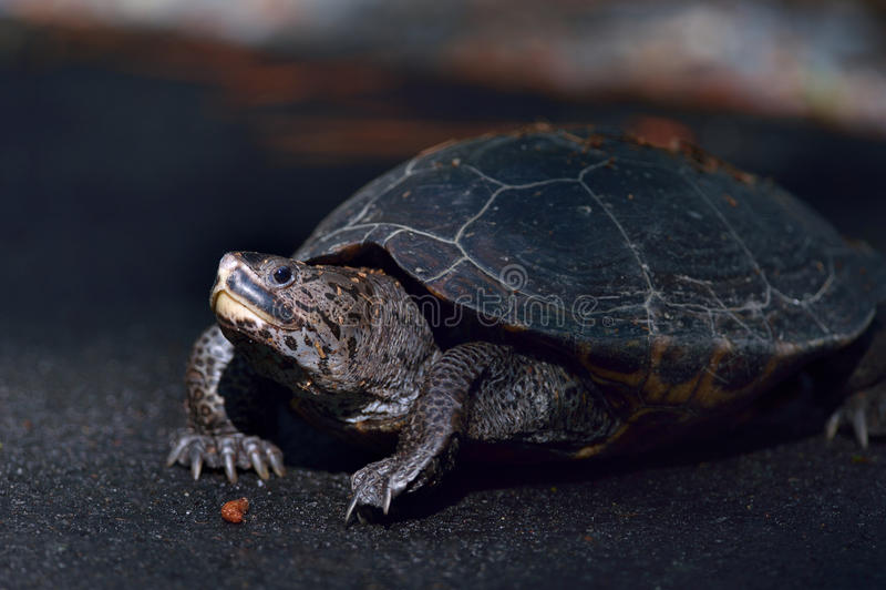 Diamant-unterstützte Nordschildkröte stockfoto