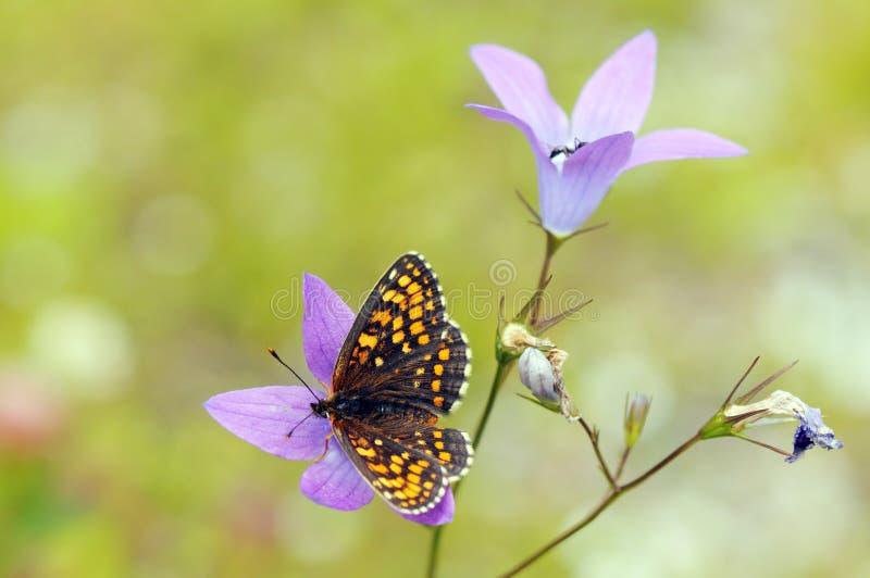 Diamina faux de Melitaea de papillon de Heath Fritillary photo stock