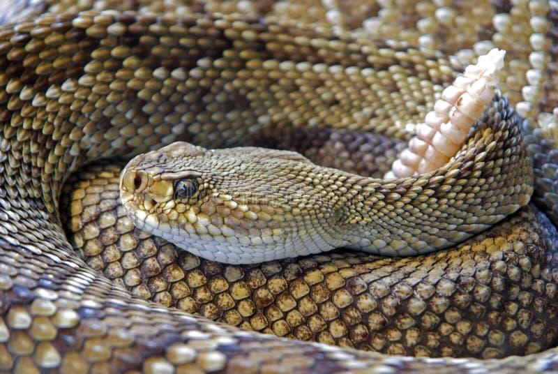Diamond Back Rattle Snake Free Public Domain Cc0 Image