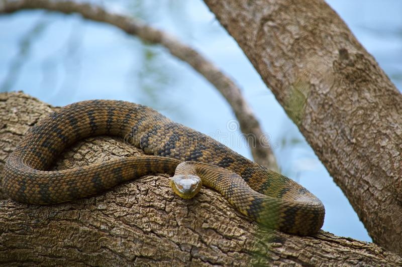 Diamond Back Water Snake royalty free stock photos