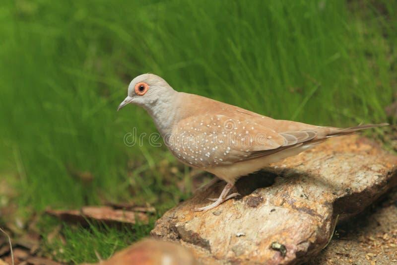 Diamond Dove Stock Photography