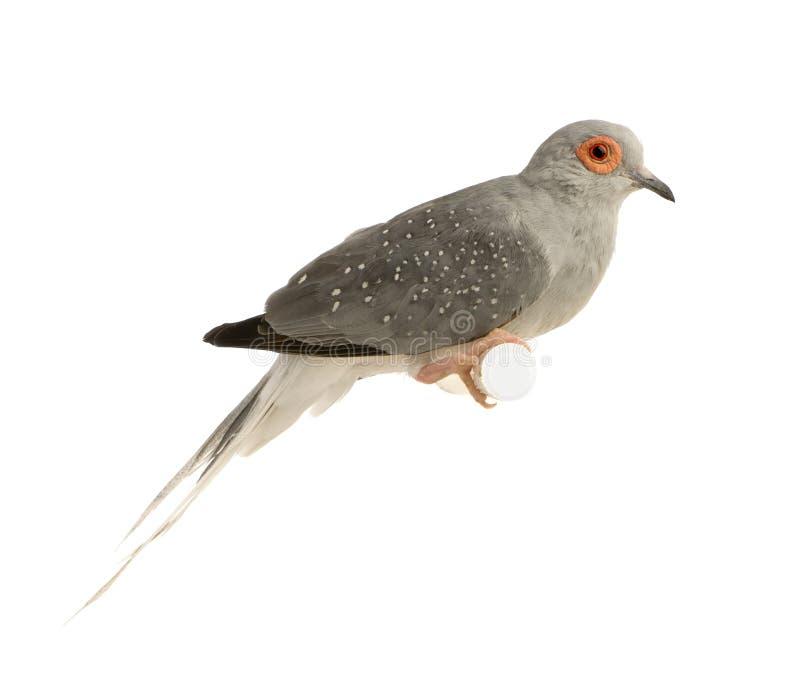 Diamond Dove - Geopelia Cuneata Royalty Free Stock Images