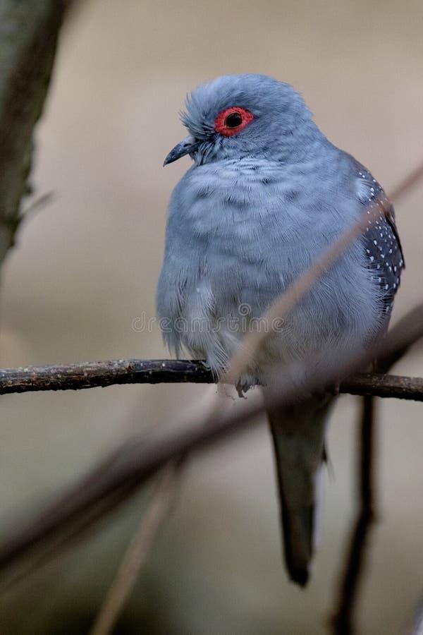 Diamond dove sitting on a branch royalty free stock photo