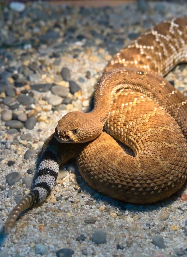 Diamond Rattlesnake vermelho fotografia de stock