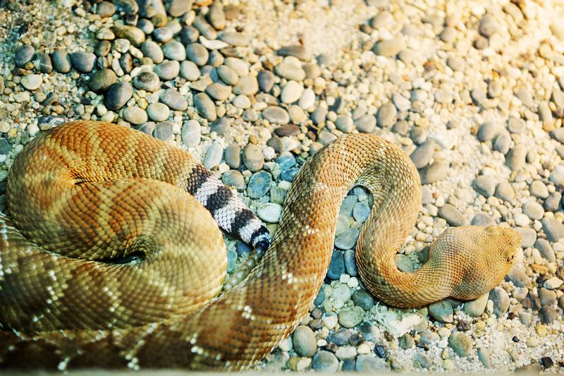 Diamond Rattlesnake vermelho foto de stock