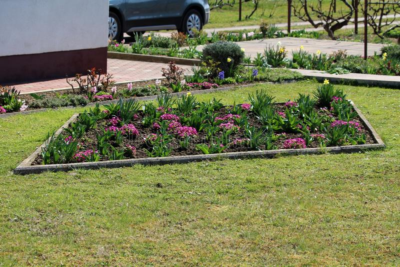 Diamond shape flower garden in front of family house filled with small dark pink Primrose or Primula vulgaris flowers and tulips royalty free stock image