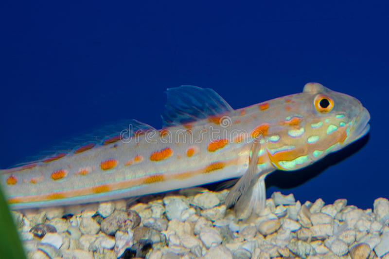 Diamond Sleeper Goby. The Diamond Watchman Goby is also commonly referred to as the Pretty Prawn, Maiden, Orange Spotted Diamond, Orange-dashed, or Orangespotted royalty free stock image