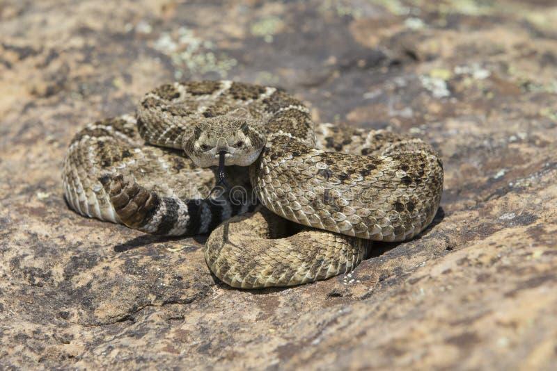 Diamondback rattlesnake poised to strike. Western diamondback rattlesnake ready to strike royalty free stock photo