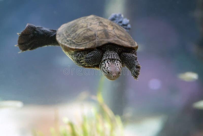 Diamondback terrapin żółw pływa podwodnego zakończenie up obrazy royalty free