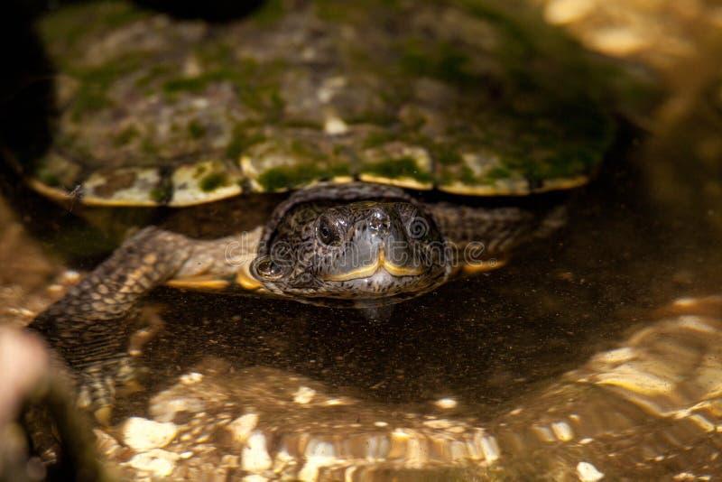 Diamondback terrapins, Malaclemys terrapin, żółw błagają dla jedzenia obraz stock