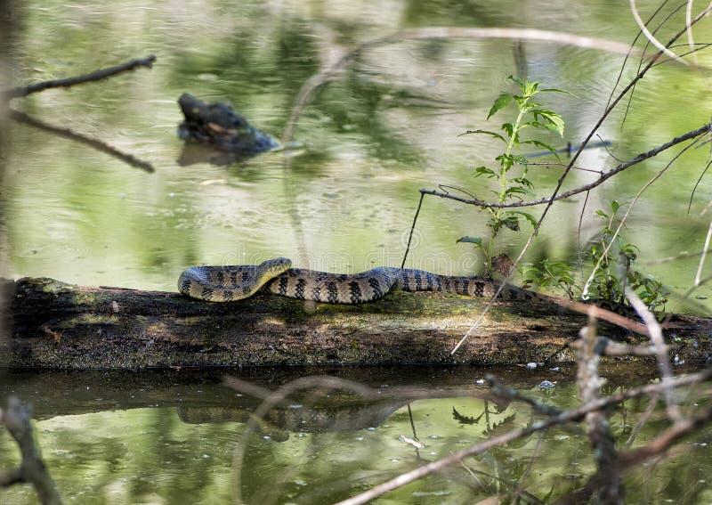 Diamondbacked water snake basking in sun. Pictured is a Diamondbacked water snake on a floating log in the Heard Wildlife Sanctuary in McKinney, Texas. The royalty free stock photo
