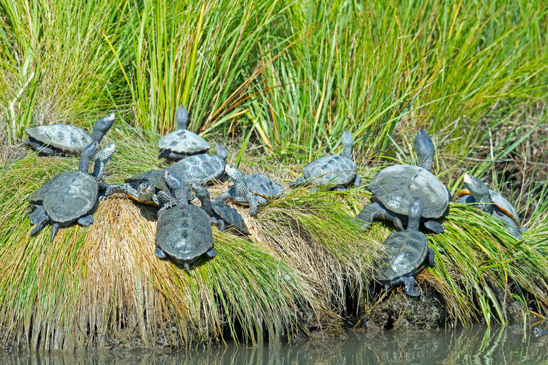 Diamondbacksumpsköldpadda fotografering för bildbyråer
