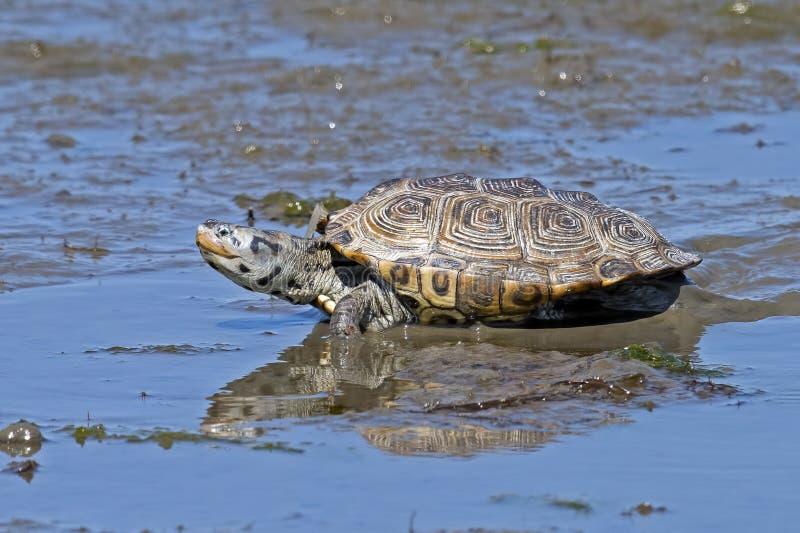 Diamondbacksumpsköldpadda i träsk fotografering för bildbyråer