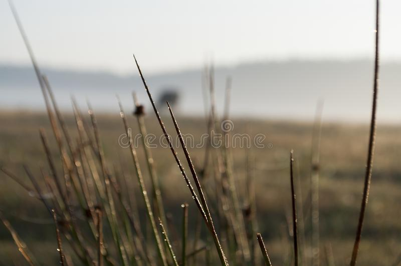 Diamonds of morning forest. Dew on the yellow grass in the meadow. Background.  royalty free stock image
