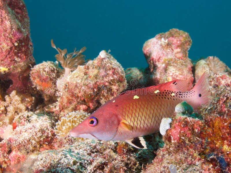 Diana hogfish in Raja Ampat, Indonesië royalty-vrije stock fotografie