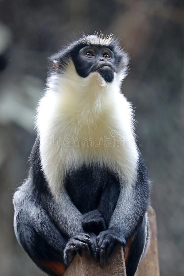 Diana Monkey (Cercopithecus diana) fotografering för bildbyråer