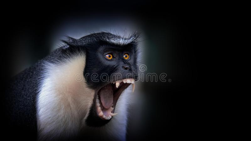 Diana monkey, Cercopithecus diana, a dark backround, scream, crescent-shaped browband, ruff and beard. Wildlife animals. Portrait stock photography