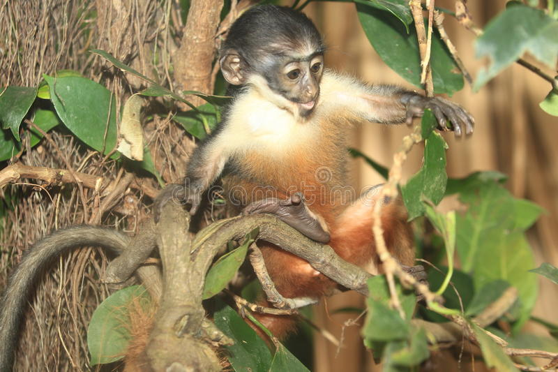 Diana Monkey (Cercopithecus diana) royaltyfri bild