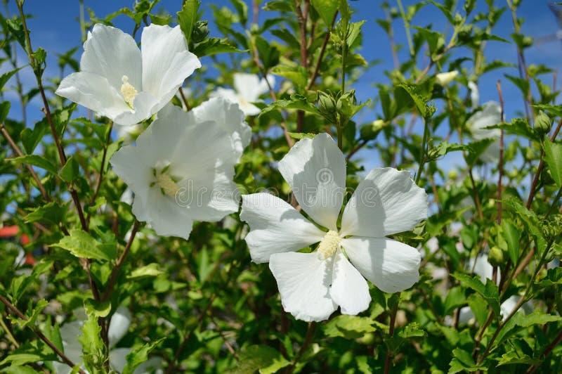 Diana Rose van Sharon White Flowers Hibiscus Syriacus royalty-vrije stock fotografie