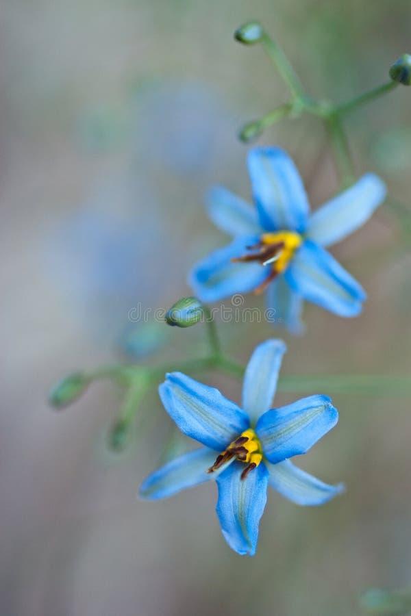 Dianella Flowers royalty free stock photo