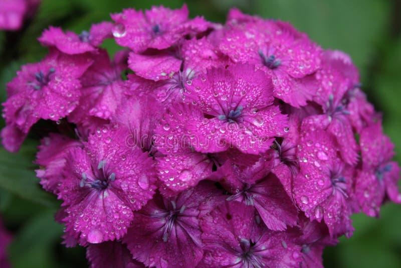 Dianthus. royalty-vrije stock fotografie