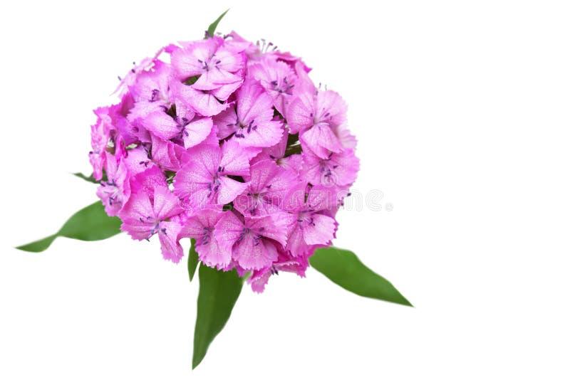 Dianthus royalty free stock image
