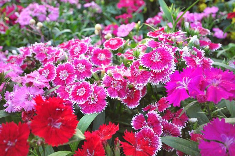 Dianthus royalty-vrije stock afbeeldingen