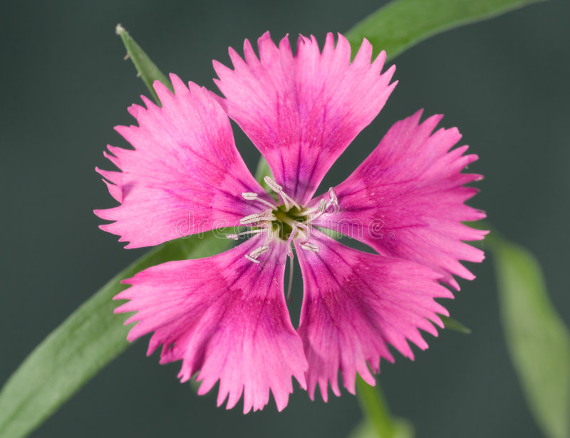 Dianthus. Closeup of a dianthus flower on a green background stock photos