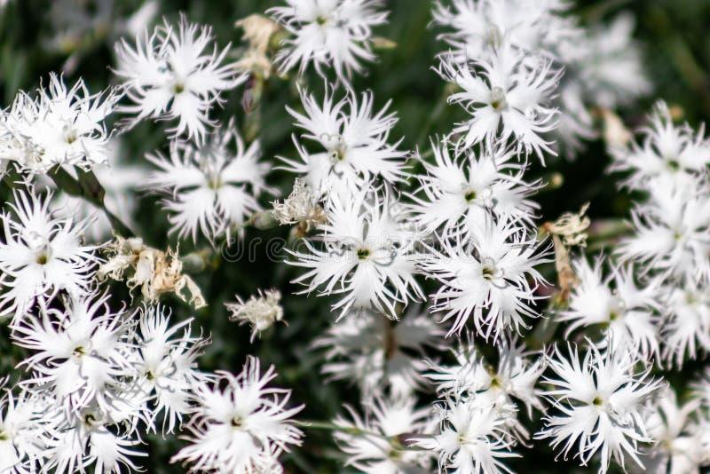 Dianthus arenarius lub piaska goździka biali kwiaty z zielenią obraz stock