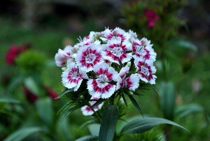 Dianthus Barbatus Flower Free Public Domain Cc0 Image
