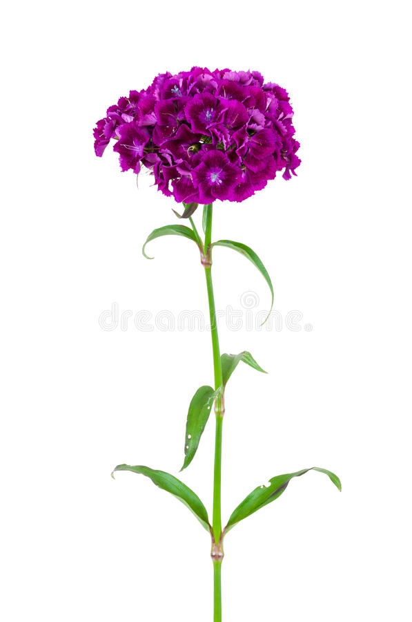 Free Dianthus Barbatus Flower Isolated On White Background Royalty Free Stock Image - 46028856