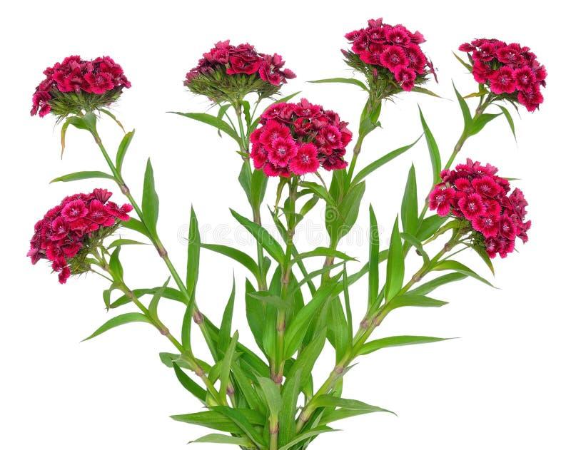 Dianthus barbatus flower. Isolated on white background royalty free stock image