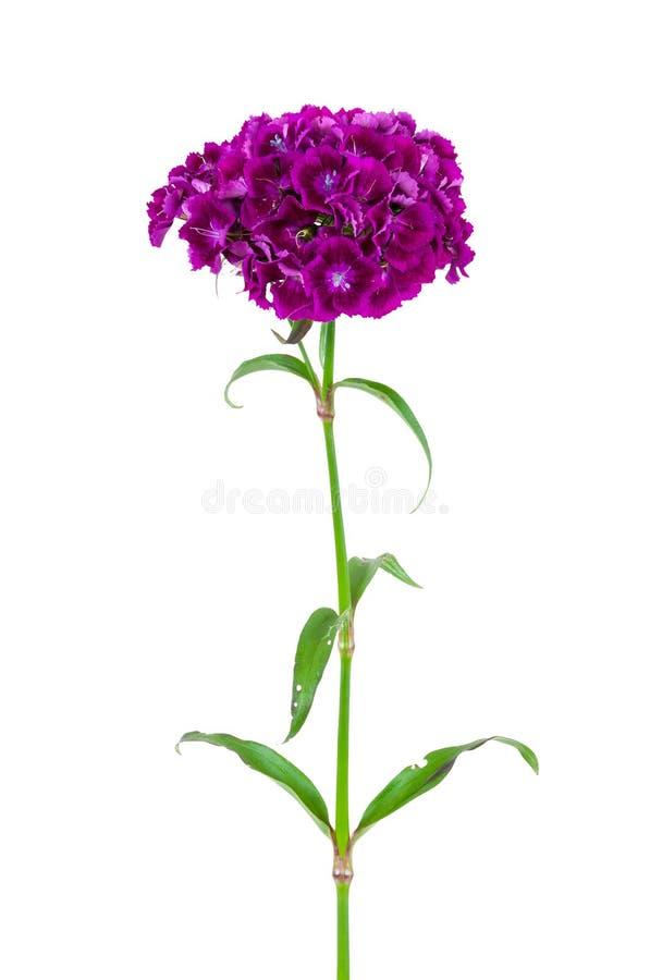 Dianthus barbatus flower isolated on white background royalty free stock image