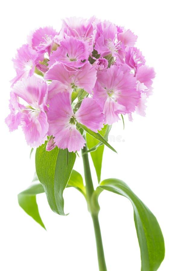 Dianthus Barbatus flowers on white background. Pink Dianthus Barbatus flowers on white background royalty free stock photography
